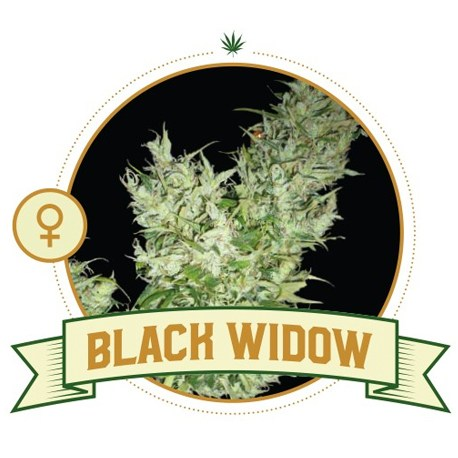 Black Widow Feminized