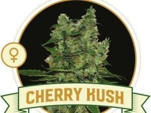 Cherry Kush Feminized