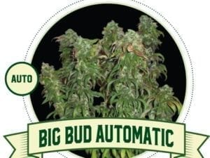 Big Bud Automatic