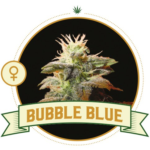 Bubble Blue Feminized