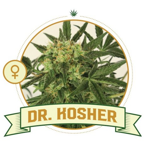 Dr Kosher Feminized