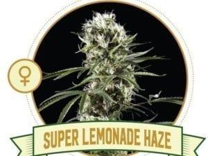Super Lemonade Haze Feminized