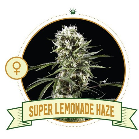 Super Lemonade Haze Feminized