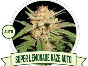 Super Lemonade Haze Auto