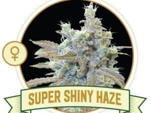 Super Shiny Haze Feminized