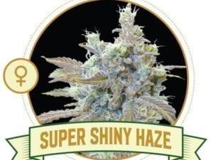 Super Shiny Haze Feminized