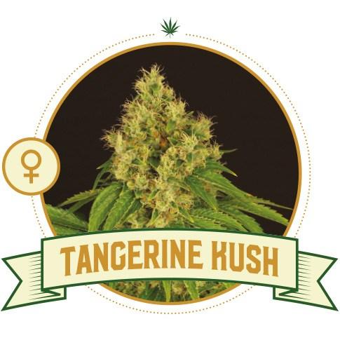 Tangerine Kush Feminized