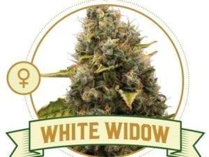 White Widow Feminized